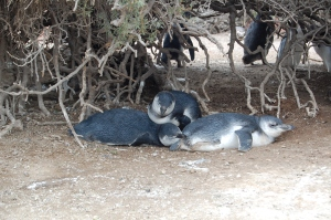 Sleepy penguins