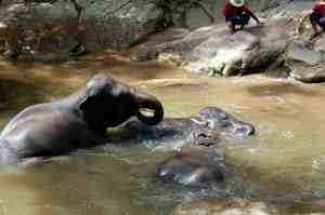 Elephants playing and bathing
